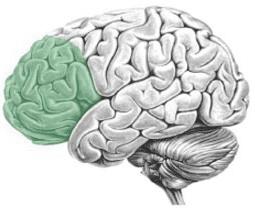 prefrontale cortex