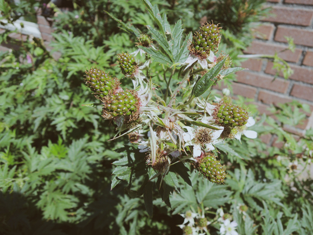 frambozenplant