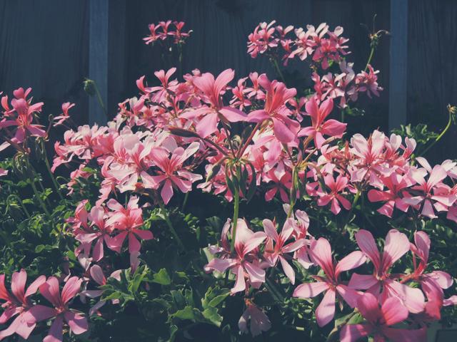 roze-bloemen