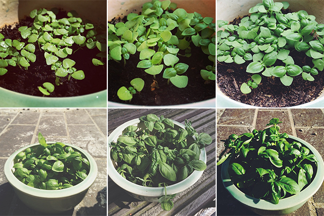 basilicum groeien
