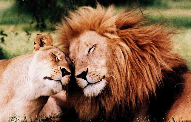 Lions in love by Francois de Halleux
