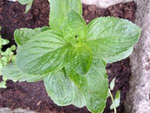 Munt plant