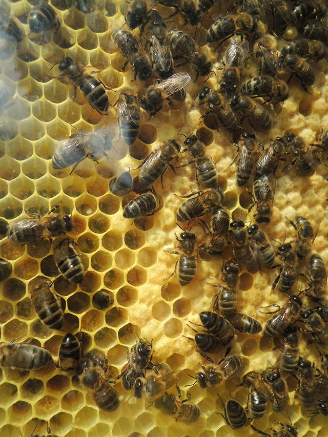 bijenvolk