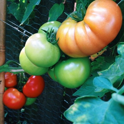 tomaten uit eigen tuin