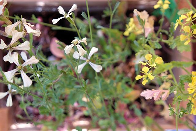 rucolabloemen