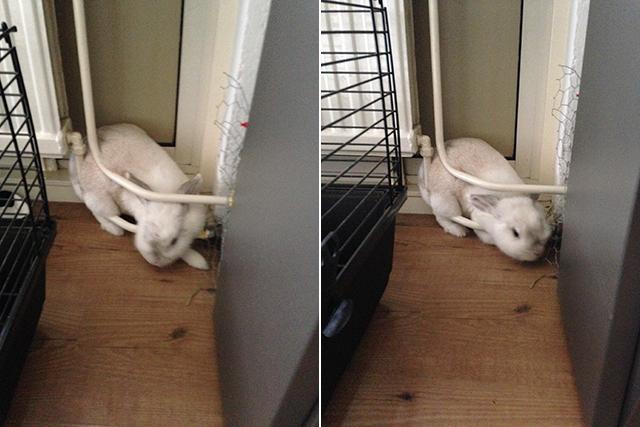 Gelukkig was ze door alle bunny yoga heel lenig, want ze móest en zou dat ene sprietje hooi eten.