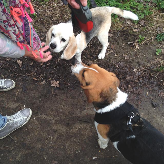 beagle vriendjes