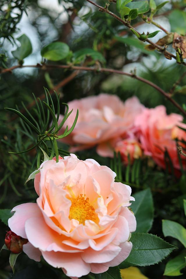 nog een roos