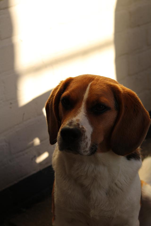 ollie de beagle in de zon
