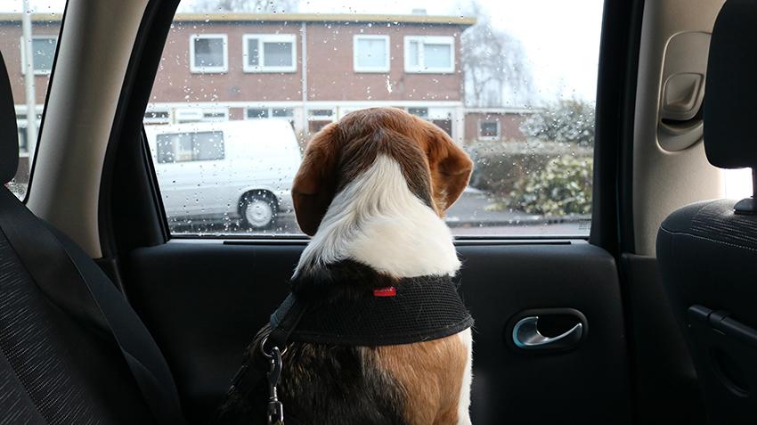 Ollie in de auto