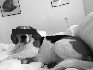 onbekende beagle