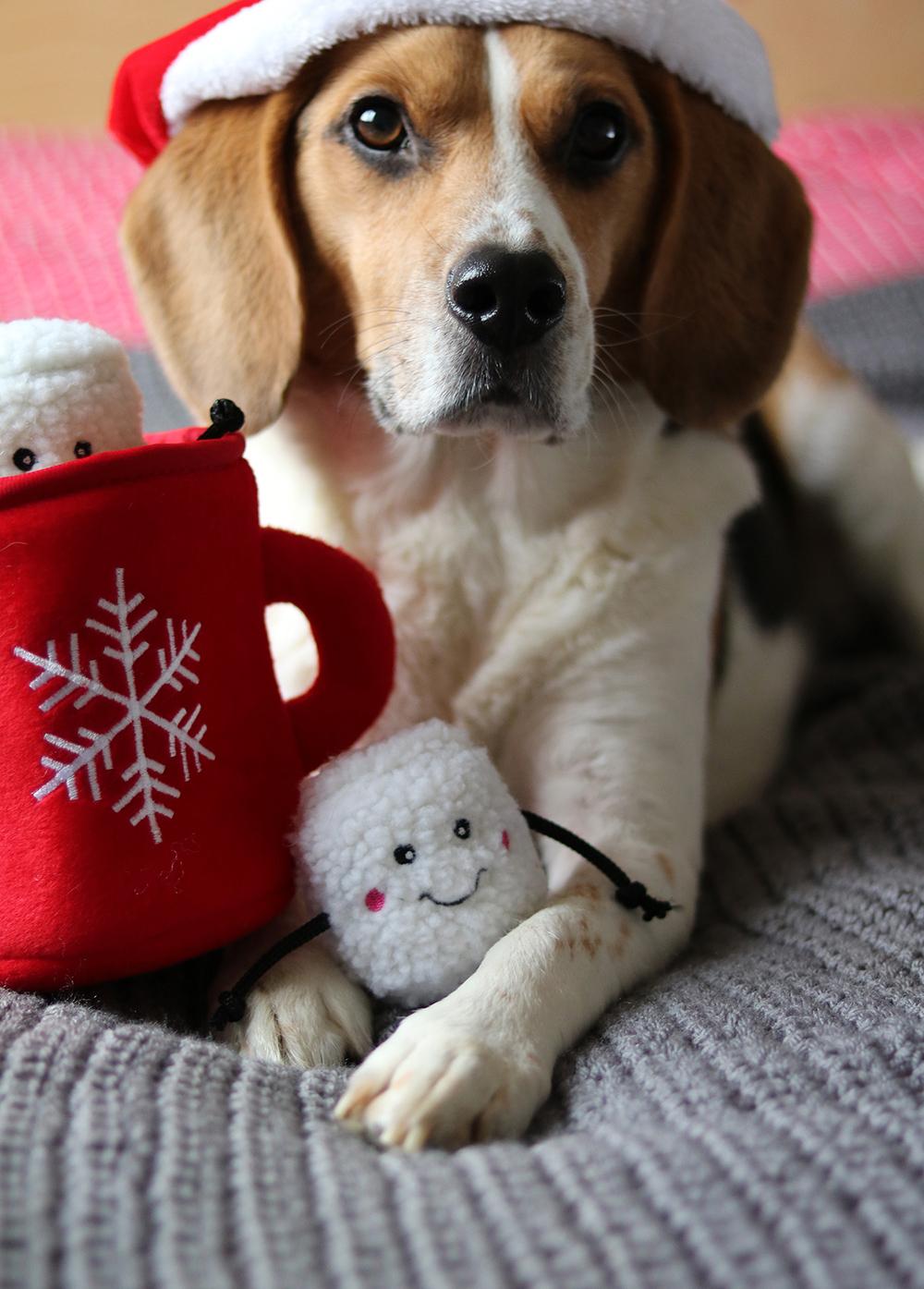 Ollie de beagle als model voor de kerstkaarten